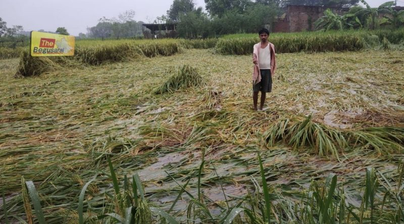 paddy crop destroyed due to heavy rain