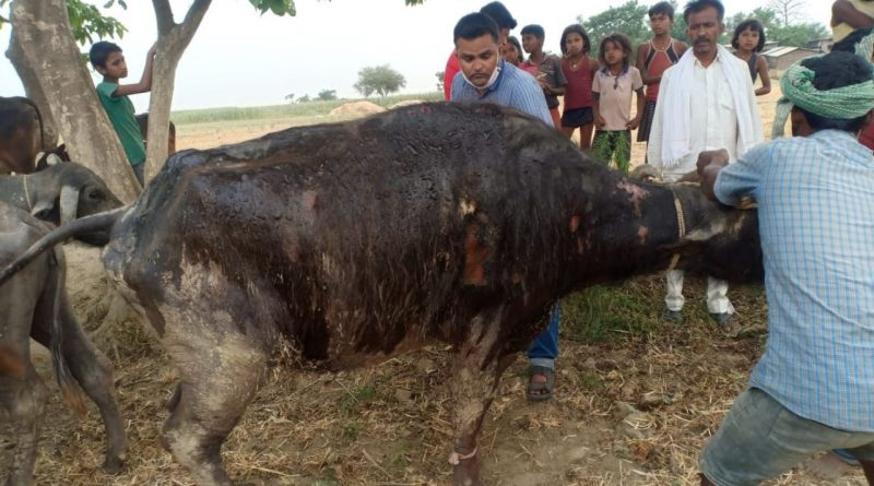 Firefly in Ballia of Begusarai, about a dozen houses burnt, the treatment of animals burnt by fire
