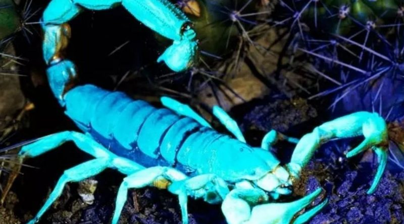 Worlds deadliest scorpion