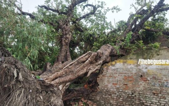Banyan Tree 100 Years