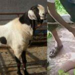 प्रेमिका से मिलने 205 KM दूर आया प्रेमी, वापसी के वक्त खर्चे घट गया तो कार में चुरा ले गया 3 बकरी..